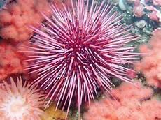 Fakta Menarik Tentang Bulu Babi Landak Laut