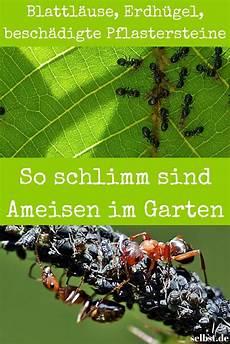 ameisen im beet ameisen im garten ameisen im garten sch 228 dlinge im