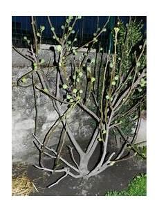 taille du figuier forum jardinage