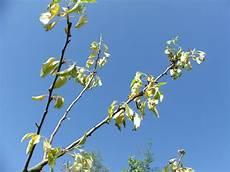apfelbaum hat braune blätter apfelbaum welkt und hat nur kleine bl 228 tter was tun mein