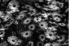 fiori in bianco e nero paolo d arpini pomezia roma dall 1 al 4 dicembre