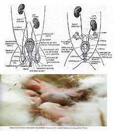 Zoologi Vertebrata Laporan Morfologi Anatomi Kelinci