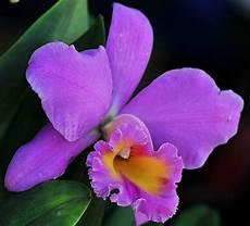 dibujo de la flor nacional de venezuela flor nacional de venezuela la orquidea venezuela pazparavenezuela magallanes pinterest