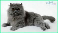 17 Gambar Jenis Kucing Yang Paling Cantik Di Dunia
