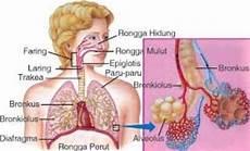 12 Sistem Anatomi Tubuh Manusia Gambar Penjelasan Fungsi