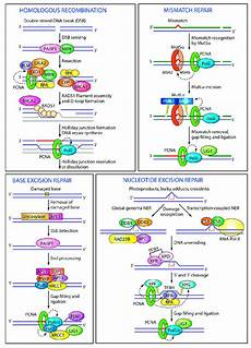 pcn9a functions of pcna in different dna repair pathways in