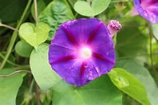 blaue mauritius convolvulus sabatius pflanzen und