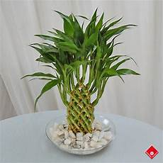 bambou en vase lucky bamboo plants in montreal bamboo gift the flower pot