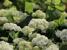 strauch hortensie schneeball hortensie grandiflora