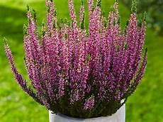 calluna vulgaris sorten heide calluna und eriken garten ch