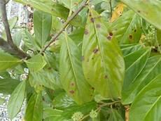 kirschlorbeer blätter angefressen kirschlorbeer hecken mit braunen flecken schrotschuss