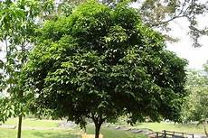 Jenis Jenis Pohon Yang Biasa Ditanam Sebagai Pohon Peneduh