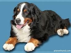 hunderassen mit bild hunderassen rassehunde hunde lexikon auf planet hund