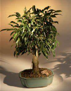 bonsai ficus benjamini ficus bonsai tree aged ficus benjamina