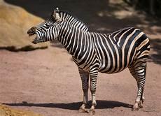zebra bild lachendes zebra foto bild nikon natur zoo bilder auf