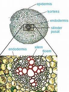 Struktur Anatomi Akar Batang Daun Monokotil Dan Dikotil