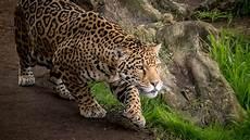 wallpaper jaguar hd animals 11221