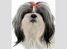 Shih Tzu Dog Small Dog