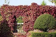 kletterpflanze schatten immergrün winterharte kletterpflanzen kletterpflanzen ratgeber