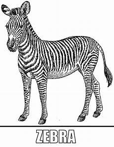 Bilder Zum Ausmalen Zebra Malvorlagen Zebra