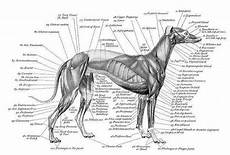 Dog Muscle Chart Muscle Amp Bone Structure Charts Greyhound Vet Stuff