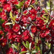 arbustes à fleurs rouges arbuste liste ooreka