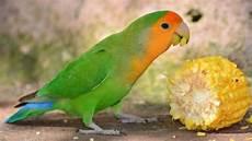 5 Makanan Burung Lovebird Agar Cepat Gacor Mudah Ditemukan