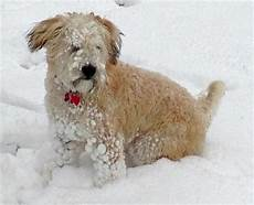 soft coated wheaten terrier haircut photos the traditional soft coated wheaten terrier haircut dog care daily puppy