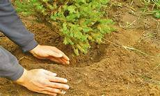 tannenbaum pflanzen selbst de