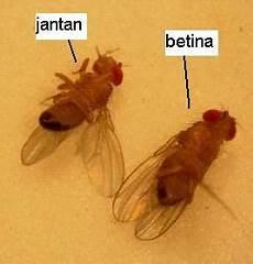 Perbedaan Lalat Betina Dan Lalat Jantan Ekodenni