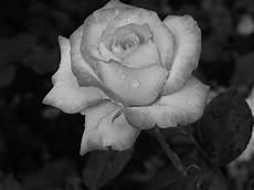 fiori in bianco e nero plant black and white 183 free photo on pixabay