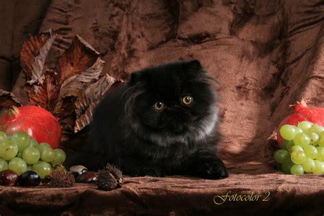 Blackfire Persian