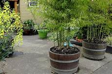 Growing Bamboo Plants In Pots Living Bamboo Brisbane