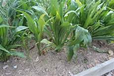 jim long s garden scorzonera black spanish salsify