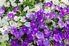 fiori da davanzale flores brancas e roxas bonitas do pet 250 nia imagens de stock