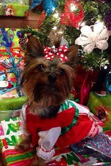 merry christmas 2013 yorkshire terrier yorkie terrier