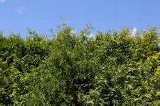 Welche Pflanzen Als Sichtschutz - str 228 ucher als sichtschutz 187 diese geh 246 lze eignen sich