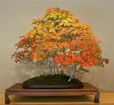 acer rubrum american maple seeds bonsai or feature