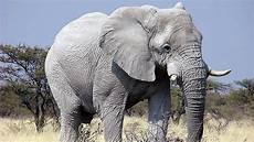 Mengapa Gajah Jadi Simbol Negara Dan Hewan Nasional