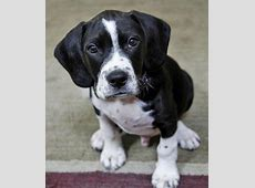 Deuce the American Staffordshire Terrier/Cocker Spaniel