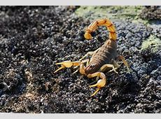 Scorpian Wallpapers   Wallpaper Cave