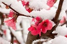 garten im winter pfirsich bluete meine orangerie