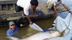 Ditemukan Ikan Lele Raksasa Langka Sungai Mekong
