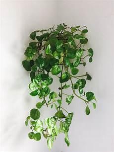zimmerpflanzen für dunkle räume zimmerpflanze efeu iu43 casaramonaacademy