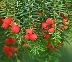 Eibe Taxus Baccata - taxus baccata 25 seeds yew tree ebay