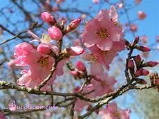 fiori mandorlo bucolicamente alberi da frutto il mandorlo