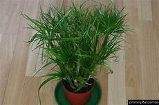 papyrus papyruspflanze cyperus papyrus zimmerpflanzen