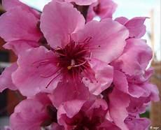 fiori di rosa fiori di pesco panoramio photo of fiori rosa fiori di pesco