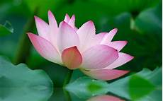lovely lotus a frog s dream