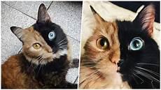 Kucing Separuh Muka Oren Separuh Lagi Hitam Dengan Warna